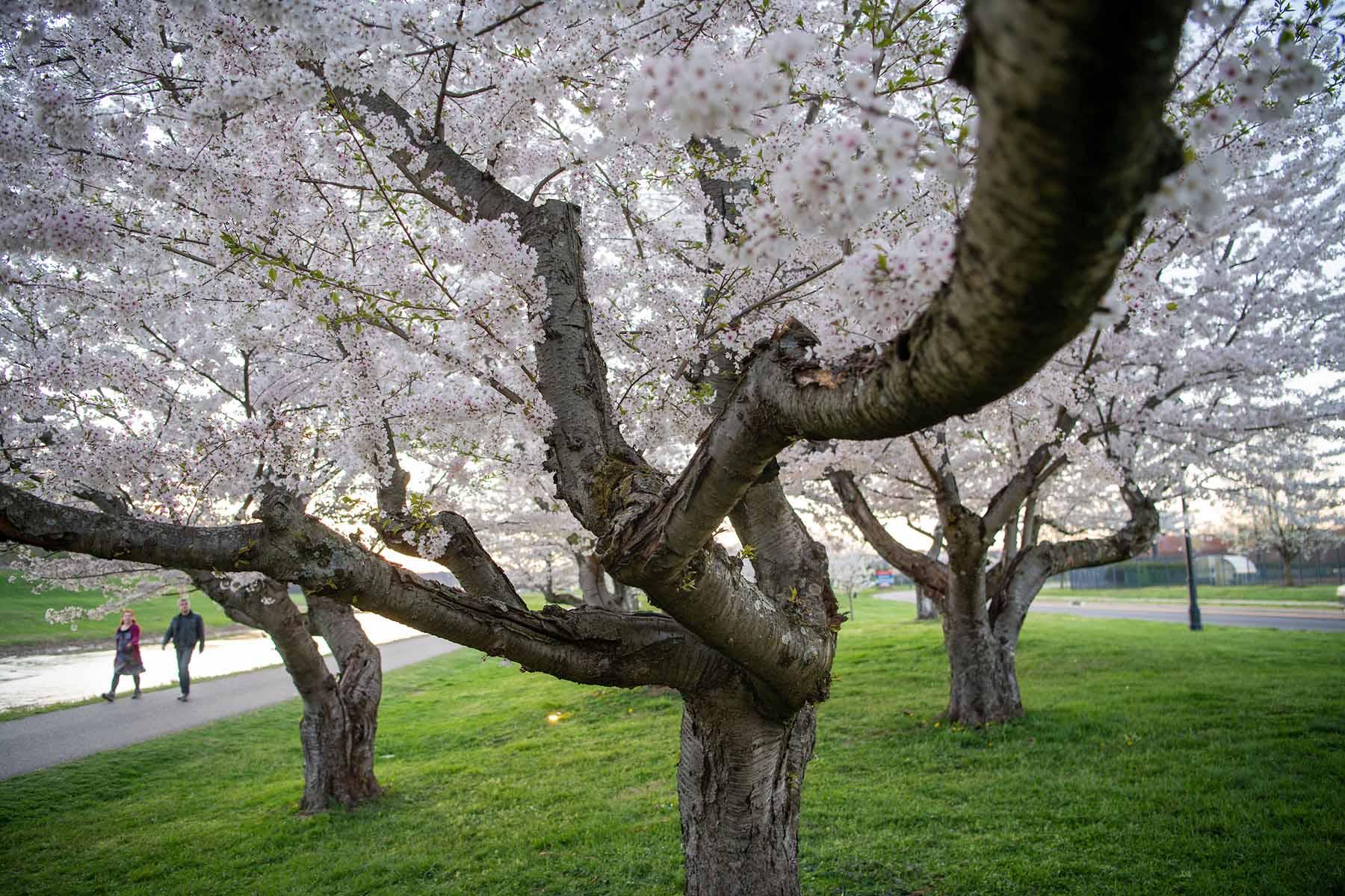 Ohio S Renowned Cherry Blossom Trees