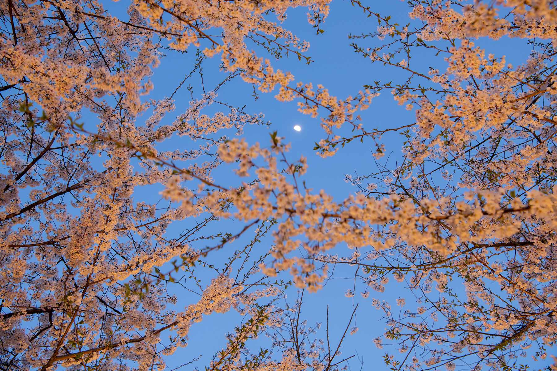 A view of the moon through cherry blossom flowers