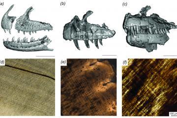A comparison o ffossil teeth from Majungasaurus, Ceratosaurus and Allosaurus