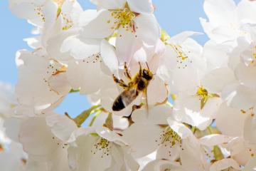 Bee on a cherry blossom